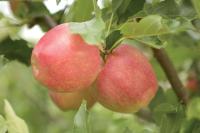 Gala - Äpfel aus Österreich, © BMLFUW/Rita Newman