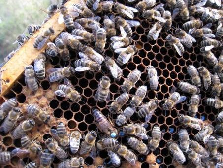 Bienenkönigin, Quelle: Martina Knapp