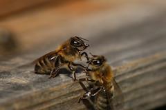 """""""Zwei Bienen kommunizieren"""", Quelle: LFI"""