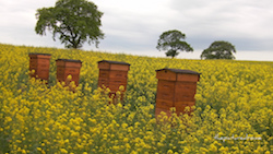 "Bienenstoecke in einem Acker ""Beehives"" thepicturedrome CC BY-NC-SA"