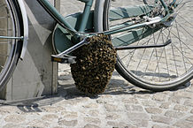 Quelle: http://commons.wikimedia.org/wiki/Category:Swarms_of_bees?uselang=de#/media/File:-_Bee_swarm_on_a_bicycle_%281-5%29_-.jpg