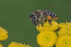 """Apis mellifera Western honey bee"