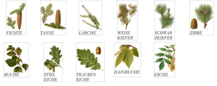 Forstwirtschaft Bio: Arbeitsmaterial: Häufige Baumarten: academy.edulabs.org/mod/page/view.php?id=265